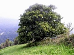 Ahornbaum_400_jahre.jpg